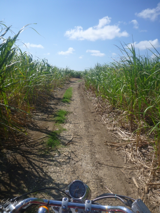Through the cane fields