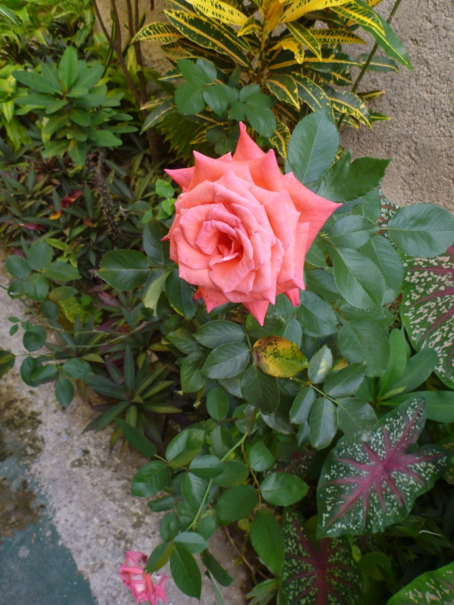 A rose grows at Prince Valley Guest House